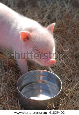 A piglet gets a drink of water. View is from above. Piglet is standing in straw in front of a stainless steel watering bowl. It is very young, eyes barely open. It is standing in sunlight. - stock photo