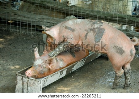 A piglet making massage to another one - stock photo