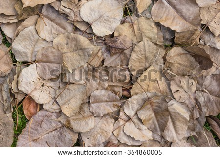 A pile of dry bodhi leaf on ground