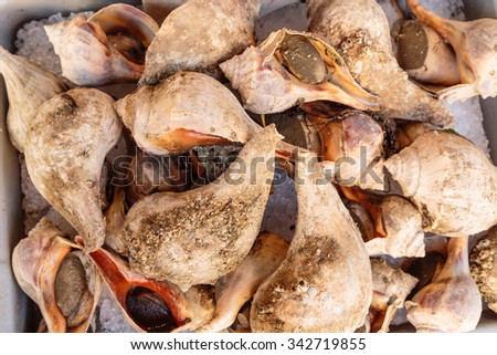 A pile of fresh Conch, or Sea Snails, in the shell on ice at the market.