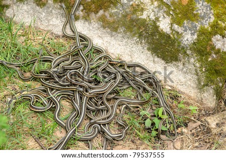 A pile of garter snakes intertwined on the ground. - stock photo