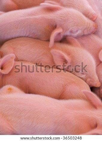 a pile of pink piglets just born at the state fair - stock photo