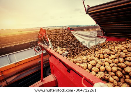 A pile of potatoes on a trailer with vintage tractor  - stock photo