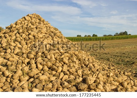 A pile of sugar beet on a field - stock photo