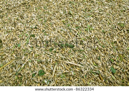 A pile of unhulled grains.   Rich harvest. - stock photo
