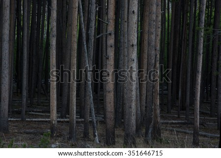 A pine forest in Yellowstone National Park at the end of the day. - stock photo