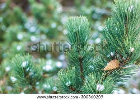 A pine tree cone hang on a branch decorated by white spots of snow.