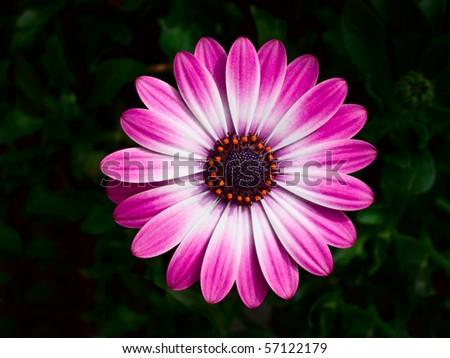 A pink and white flower white orange petals - stock photo