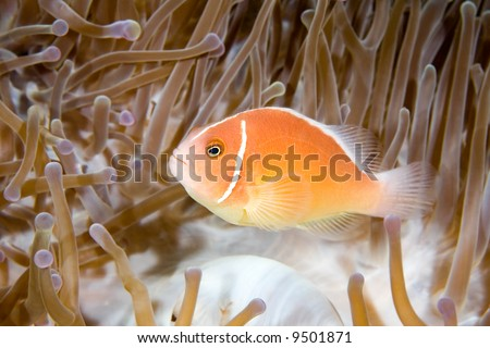 a pink anemonefish living in the tentacles of its host anemone - stock photo