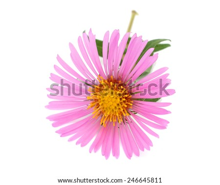 A pink aster flower on white