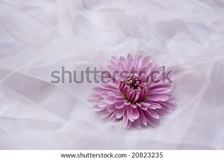 A pink aster on white organza