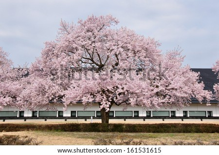 A pink blossoming tree stands in front of a long building. - stock photo