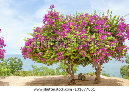 A Pink Bougainvillea Tree situated atop monkey mountain in Hua Hin, Thailand making the perfect shade for a family of monkeys.