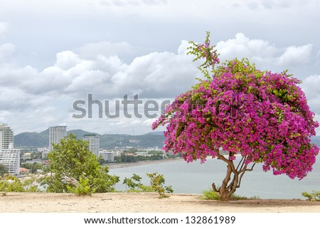 A Pink Bougainvillea Tree situated atop monkey mountain in Hua Hin, Thailand overlooking various hotel resorts in the city.