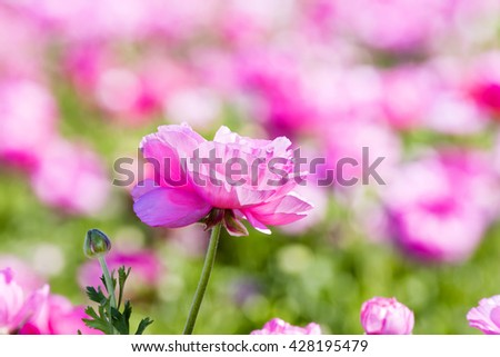 A pink buttercup flower framed against a vibrant background during a prime springtime day. - stock photo
