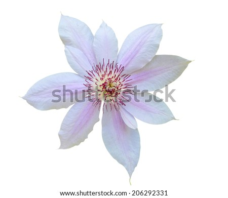 A pink clematis flower  - stock photo