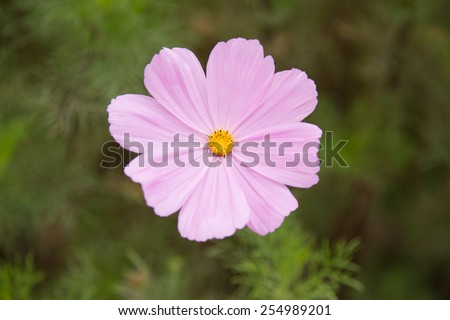 A pink cosmos bipinnatus, flower, shallow DOF - stock photo