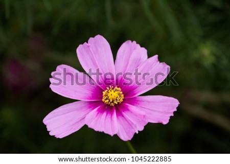 A pink Cosmos, Cosmos bipinnatus, with extreme shallow depth of field.
