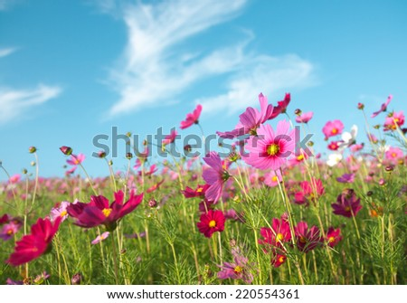 A pink cosmos flowers in flower field and blue sky - stock photo
