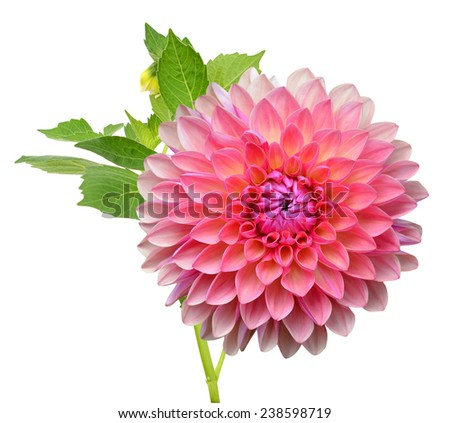 A pink Dew dahlia flower (America dahlia)  - stock photo