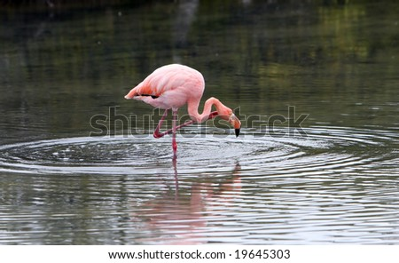 A pink flamingo on the hunt for food in a small brackish lake - stock photo