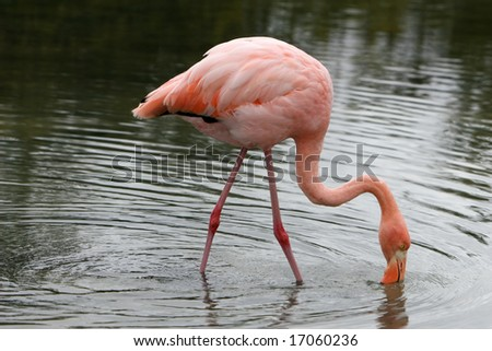 A pink flamingo wading in the water - stock photo