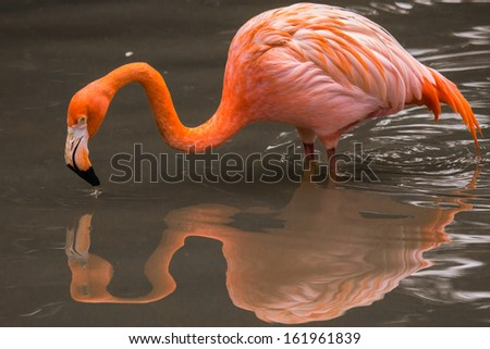 A pink flamingo with a reflection in water
