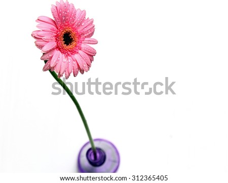 A pink Gerber Daisy on white background. - stock photo