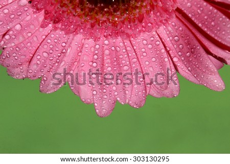A pink Gerber Daisy with copy space. - stock photo