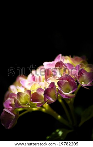 A pink hydrangea on black