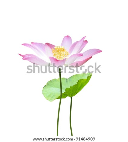 A pink lotus and leaf
