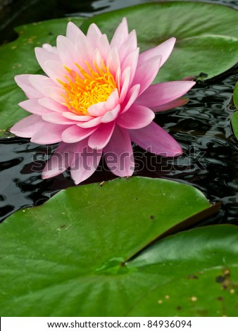 a pink lotus flower - stock photo