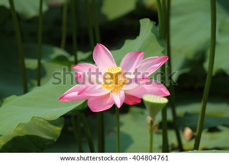 A pink lotus flower blossom among green foliage
