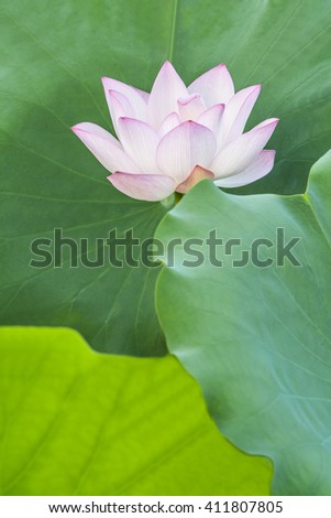 a pink lotus flower bud in fresh blossom against green foliage with veins clearly visible - stock photo