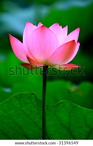 a pink lotus flower growing upright - stock photo