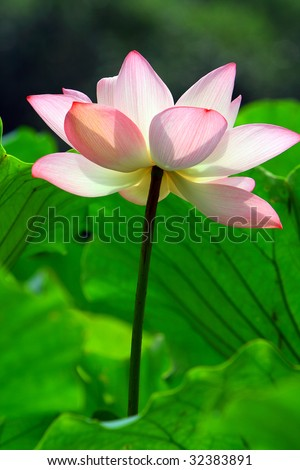 a pink lotus flower in fresh blossom