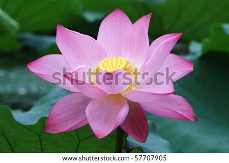 a pink lotus flower with yellow seed head in lake - stock photo