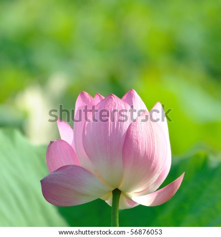 a pink lotus in green background
