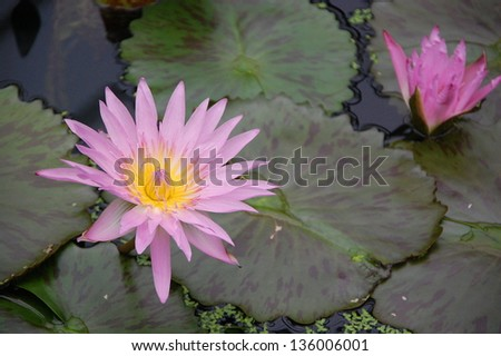 A pink lotus in the pond