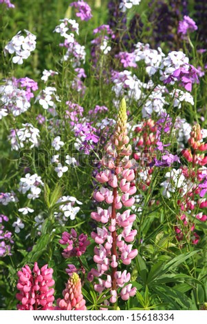 A pink lupin growing in the springtime wild garden.