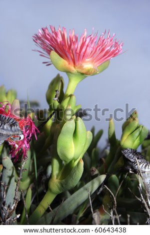 A pink Namaqualand vygie from the side - stock photo