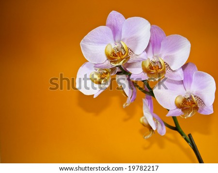 A pink orchid on orange background