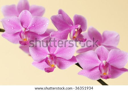A pink orchid with water drops on its petals, isolated on yellow background - stock photo
