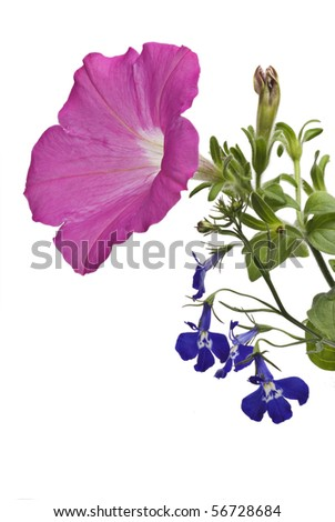 A pink petunia blossom and a sprig of blue lobelia against a white background. - stock photo