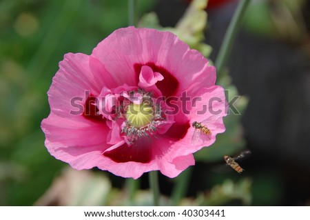 a pink poppy attracts two insects