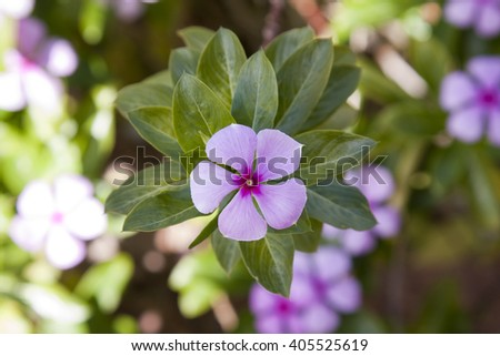 A pink/purple flower with five petals and green leaves fanning outwards. - stock photo