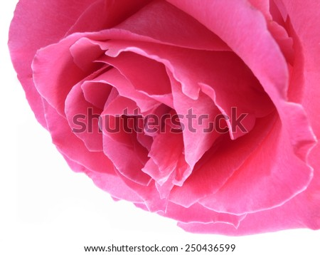 A pink rose bloom