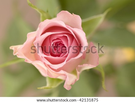 a pink rose blossoming against a background of leaves
