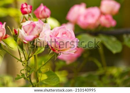 a pink rose flower garden - stock photo