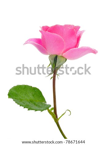 a pink rose on a white background - stock photo